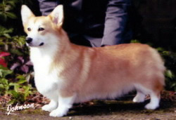 AKC Champion Salvenik Simply Made by Twinan